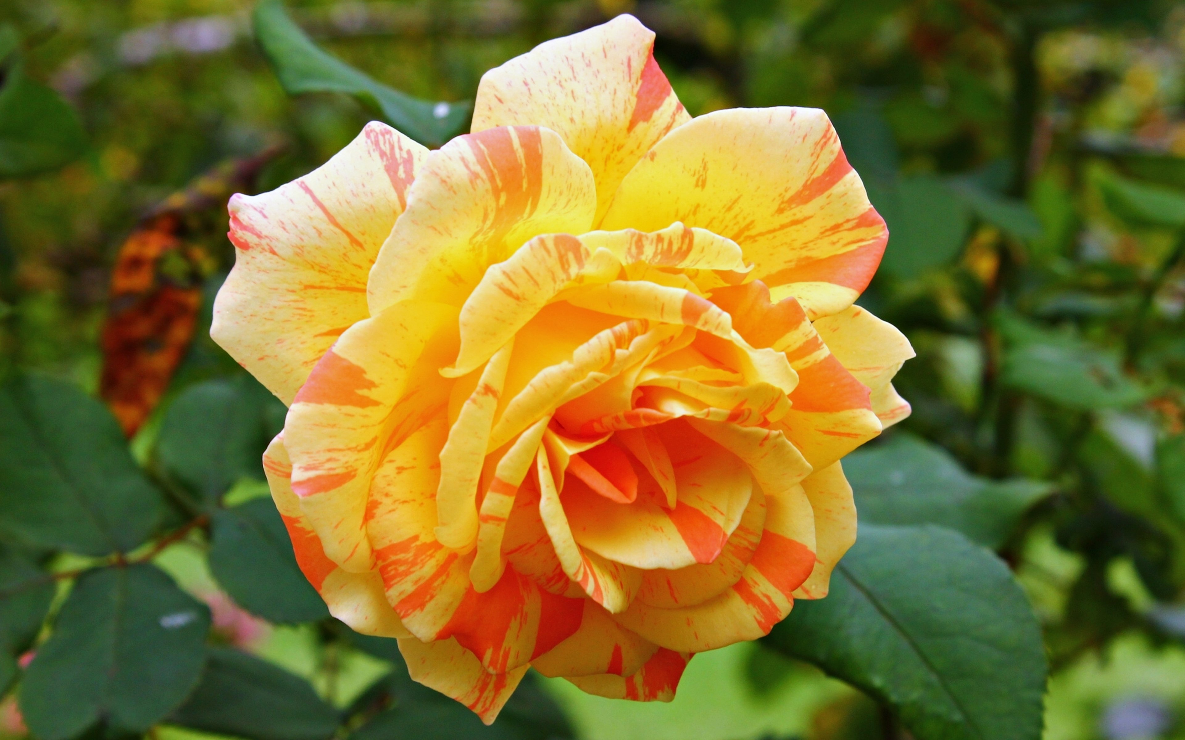yellow rose flowers wallpapers free download