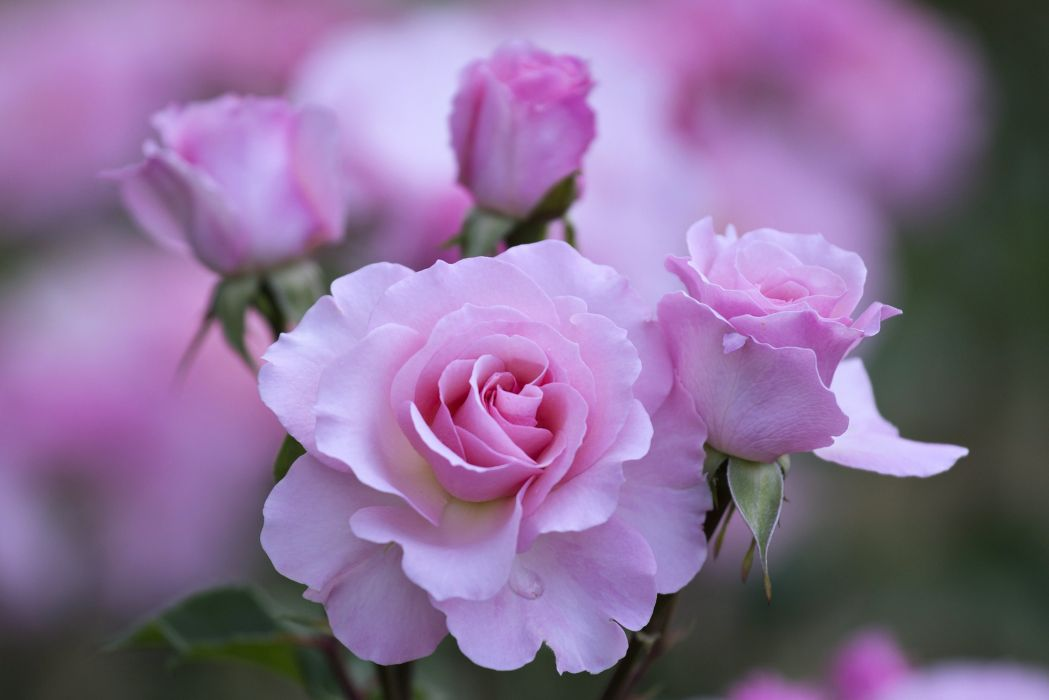roses flowers garden love emotions romance nature love beauty wallpaper