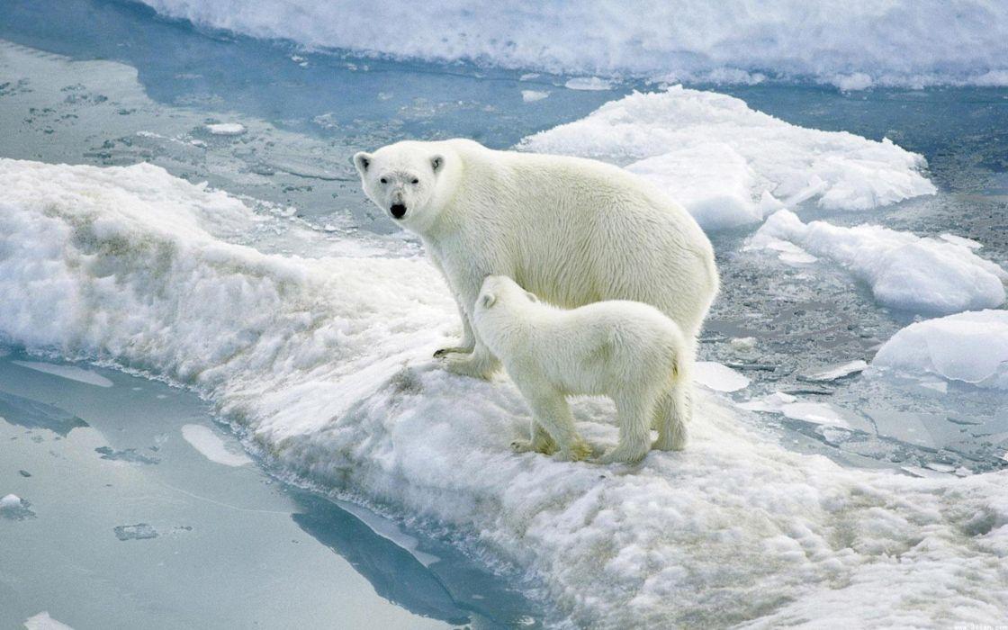 osos-polar-hielo-artico-animales-cachorro-naturaleza-paisaje wallpaper