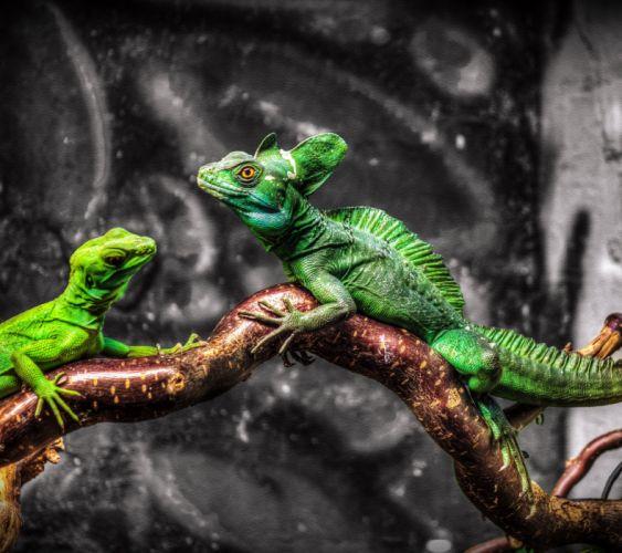 Lizard-wallpaper-10525993 wallpaper