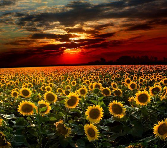 Sunflower-wallpaper-10502437 wallpaper
