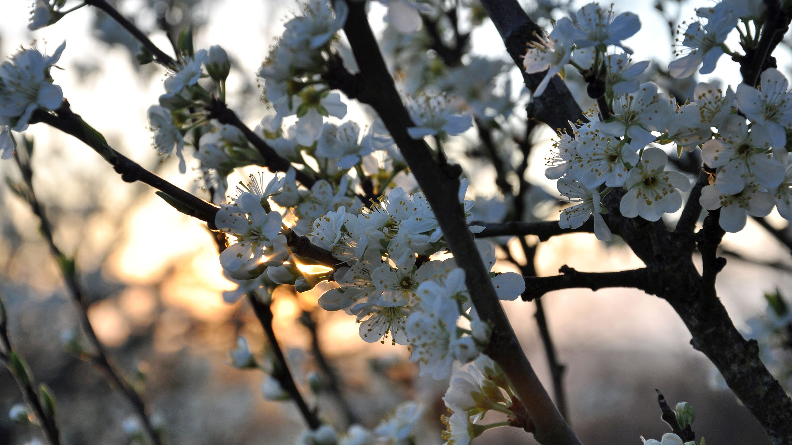 Blossom at Sunset - Le Vey wallpaper