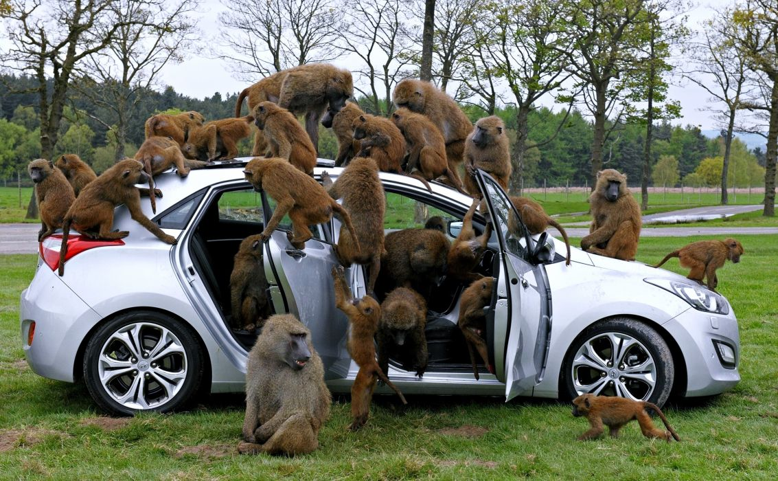 baboons Monkey cars animals landscape trees forest wallpaper