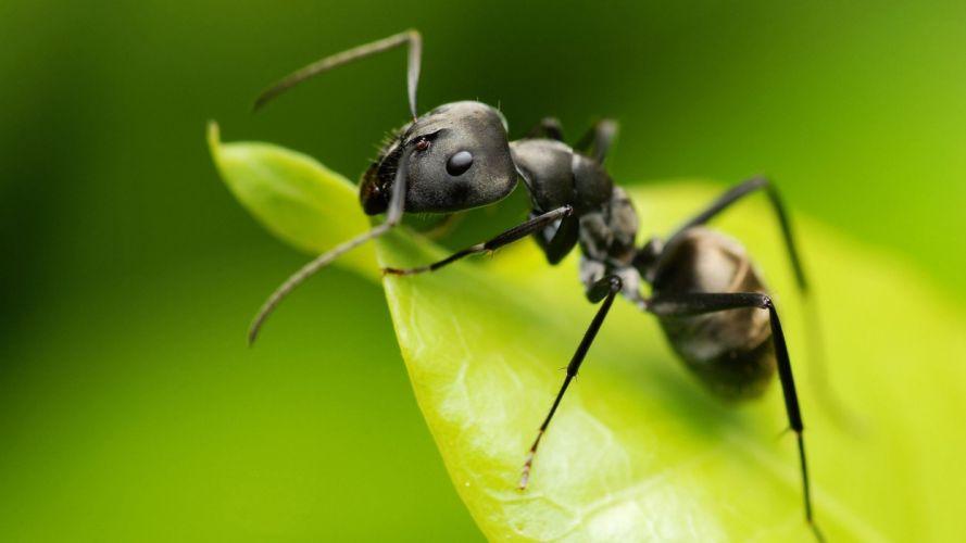 hormiga-insecto-animales-hoja wallpaper