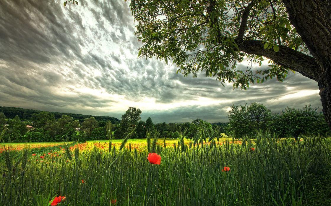 field rye poppies tree wallpaper