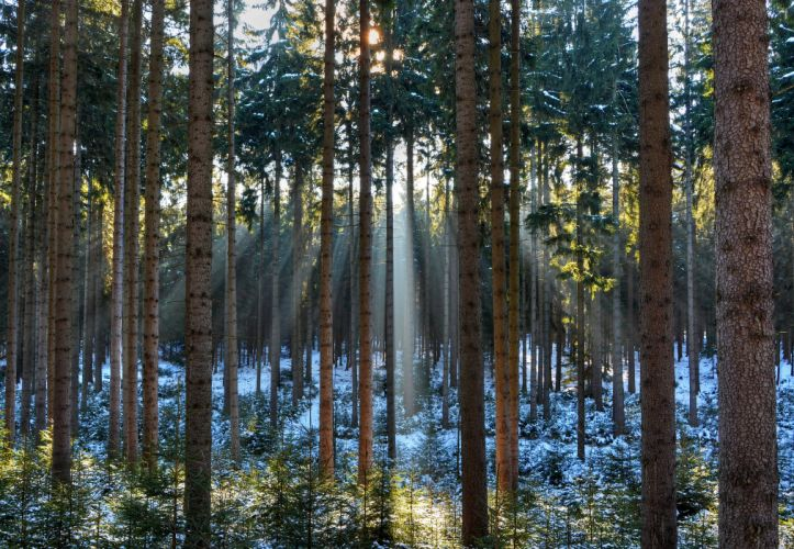 Forest Trunk tree Trees Rays of light Nature winter wallpaper