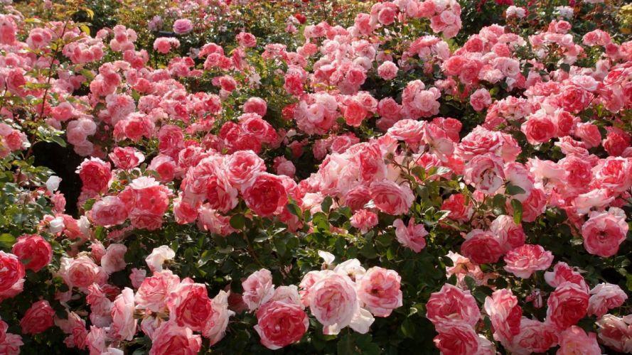 flower nature beautiful mood rose garden pink wallpaper