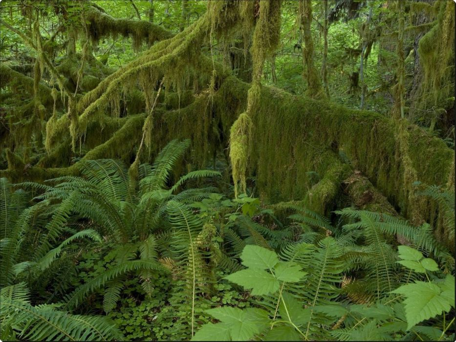 Hall of Mosses Hoh Rain Forest Olympic National Park Washington wallpaper