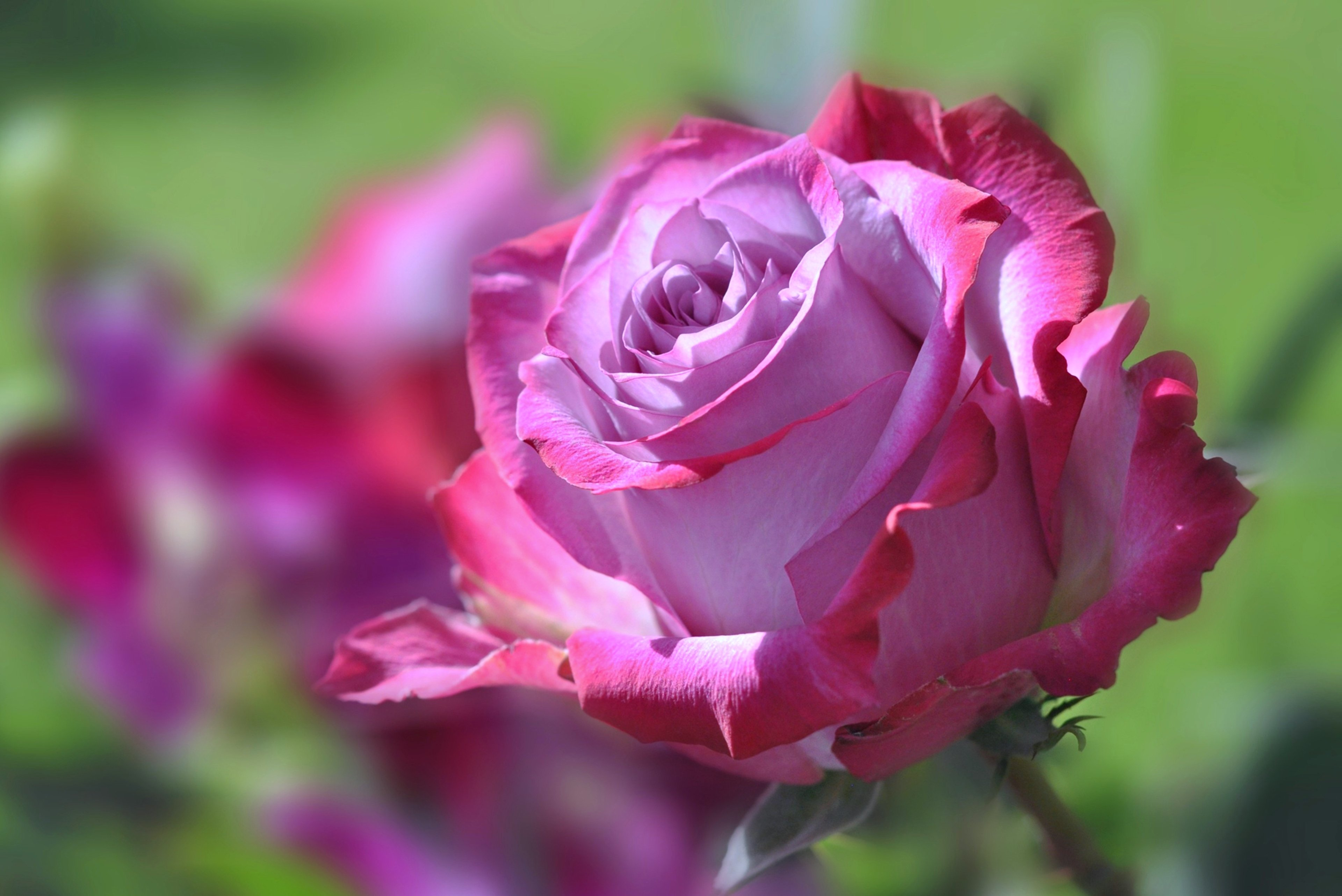 Rose flowers spring nature landscape love emotions for beauty wallpaper   3840x2565   629482 ...