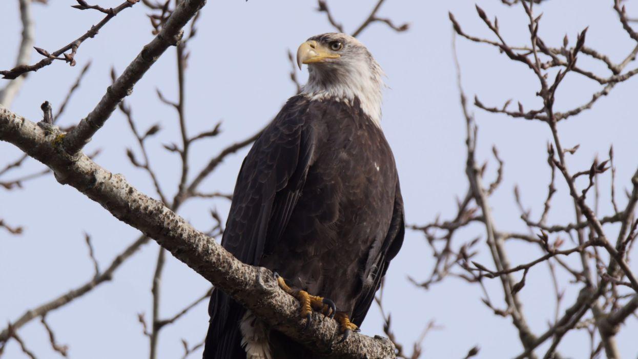 Bald Eagle in tree wallpaper