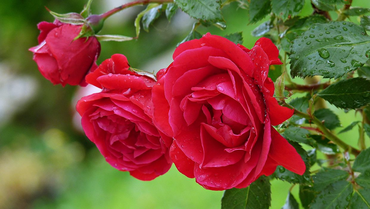 roses flowers garden spring rain drops red love romance emotions life nature wallpaper