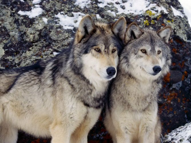 lobos animales naturaleza wallpaper