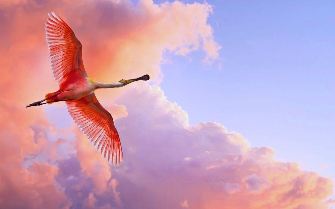 spoonbill-bird birds fly sky nature orange clouds wallpaper