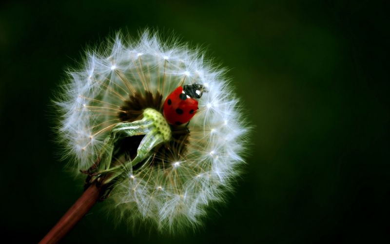 ladybug dandelion flowers Insects nature wallpaper