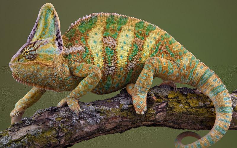 camaleon reptil animales arbol naturaleza wallpaper