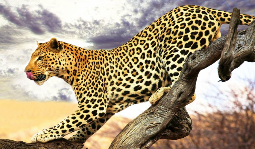 leopardo animal felino arbol wallpaper