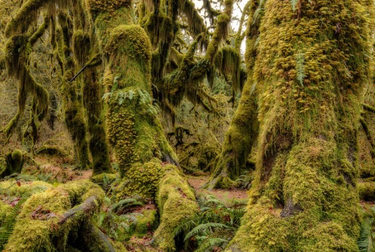 Olympic National Park Washington USA wood moss flora Olympic National Park Washington Hoh Rain Forest g wallpaper