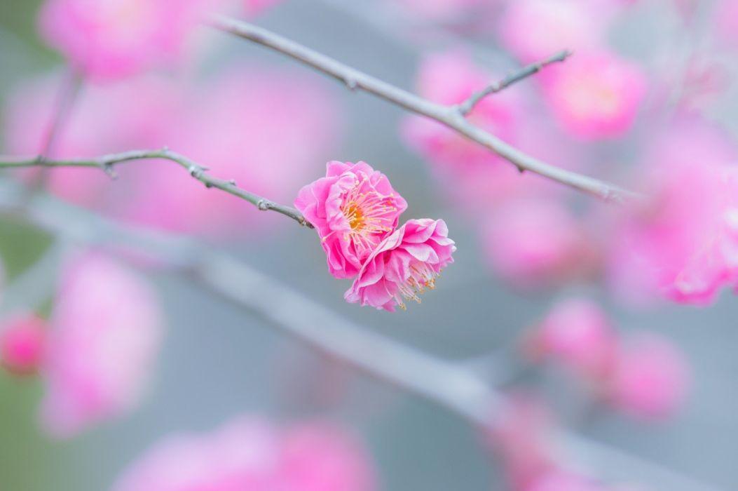 flowers twig branch pink macro spring bloom bokeh wallpaper