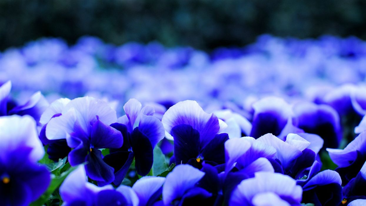 Pansy viola blue and white petals flowers blur nature flowers beautiful wallpaper