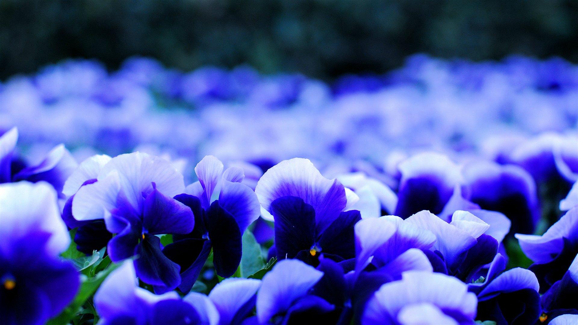 Flowers Flowers Purple Pansies Nature Jasmine Flower Wallpaper