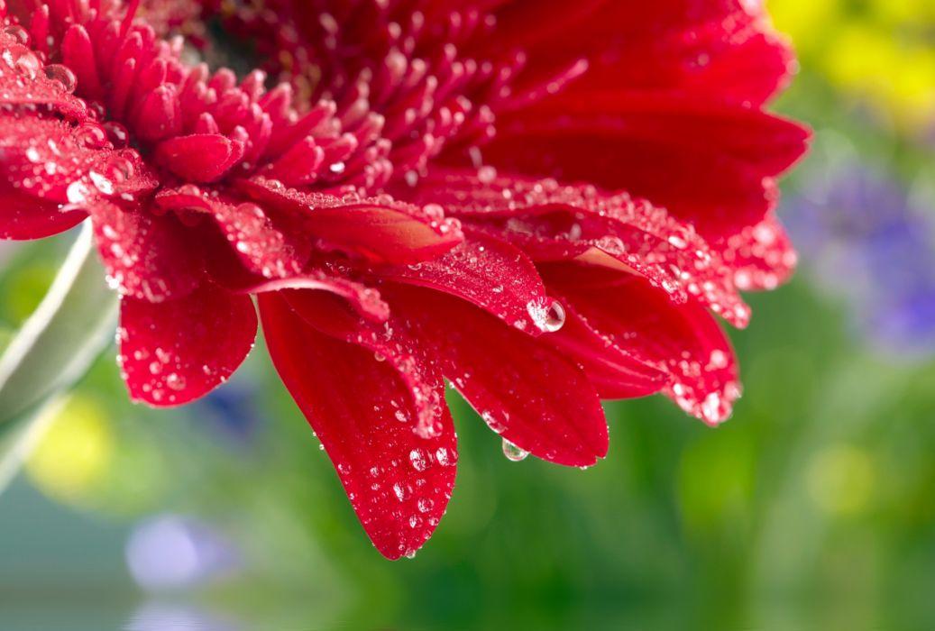 Wallpaper Single Red Rose Flower Water Drops 1920x1200 Hd: Red Daisy Gerbera Close Up Rose Flower Water Drops
