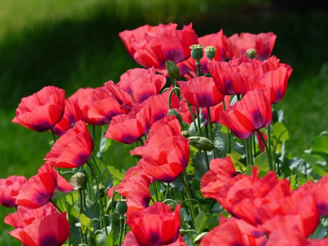 nature poppies meadow field petals wallpaper