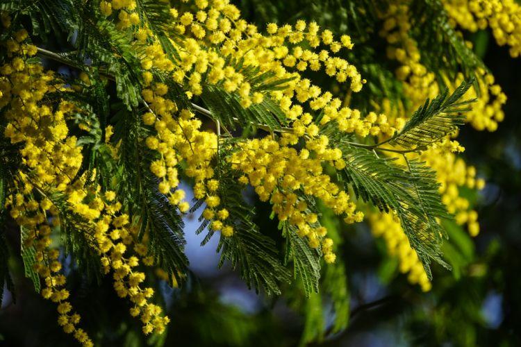 mimosa acacia wallpaper