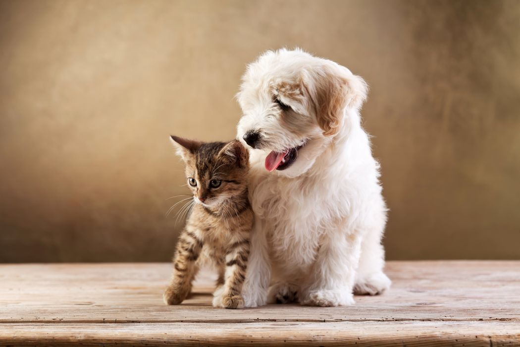 Dogs Cats Two Kitten Bolognese Animals baby puppy wallpaper