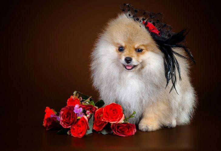 Dogs Roses Spitz Animals wallpaper