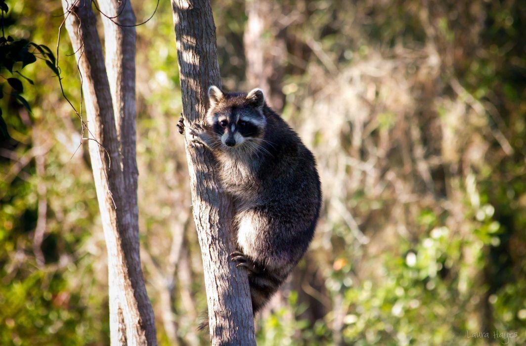 nature raccoon photography wood wallpaper