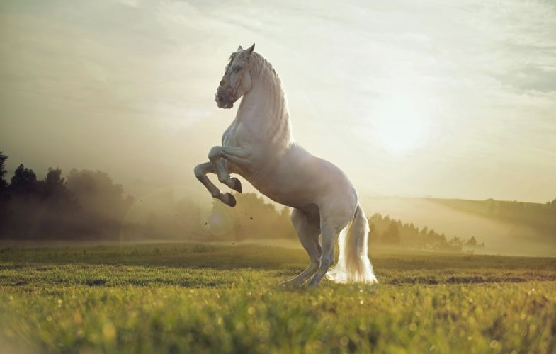 nature field white horse animal wallpaper