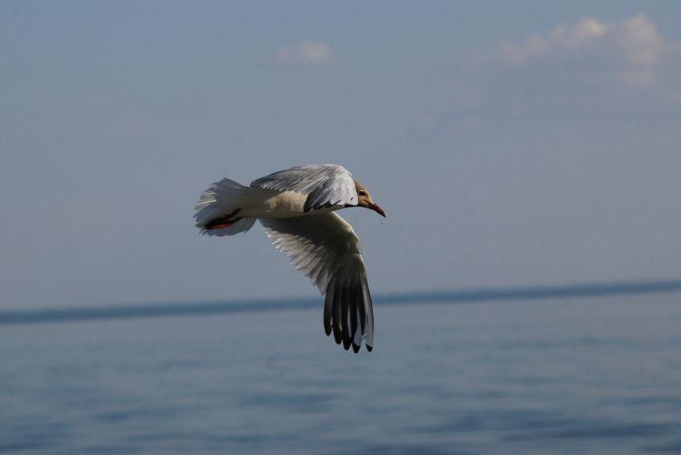 seagull sky distance flight soaring wings wallpaper