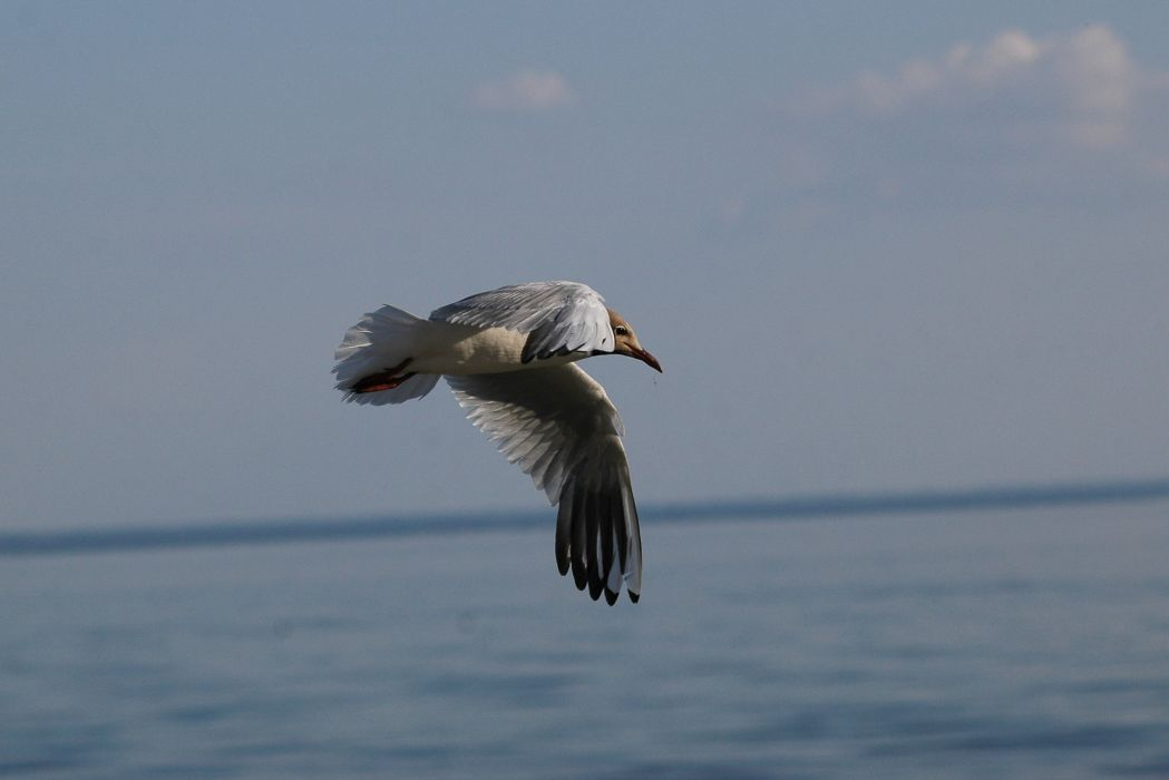 seagull sky distance flight soaring wings wallpaper