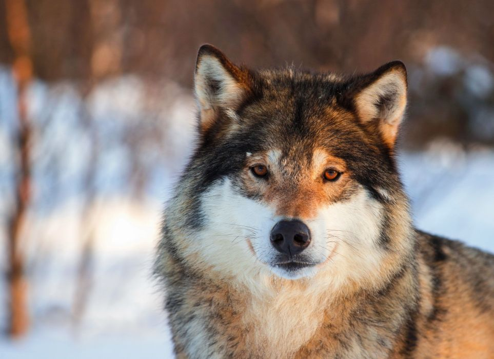 Wolf eyes nose gray portrait animals nature wolves wallpaper