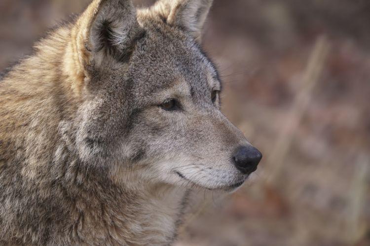 wolf predator snout portrait fur wolves wallpaper