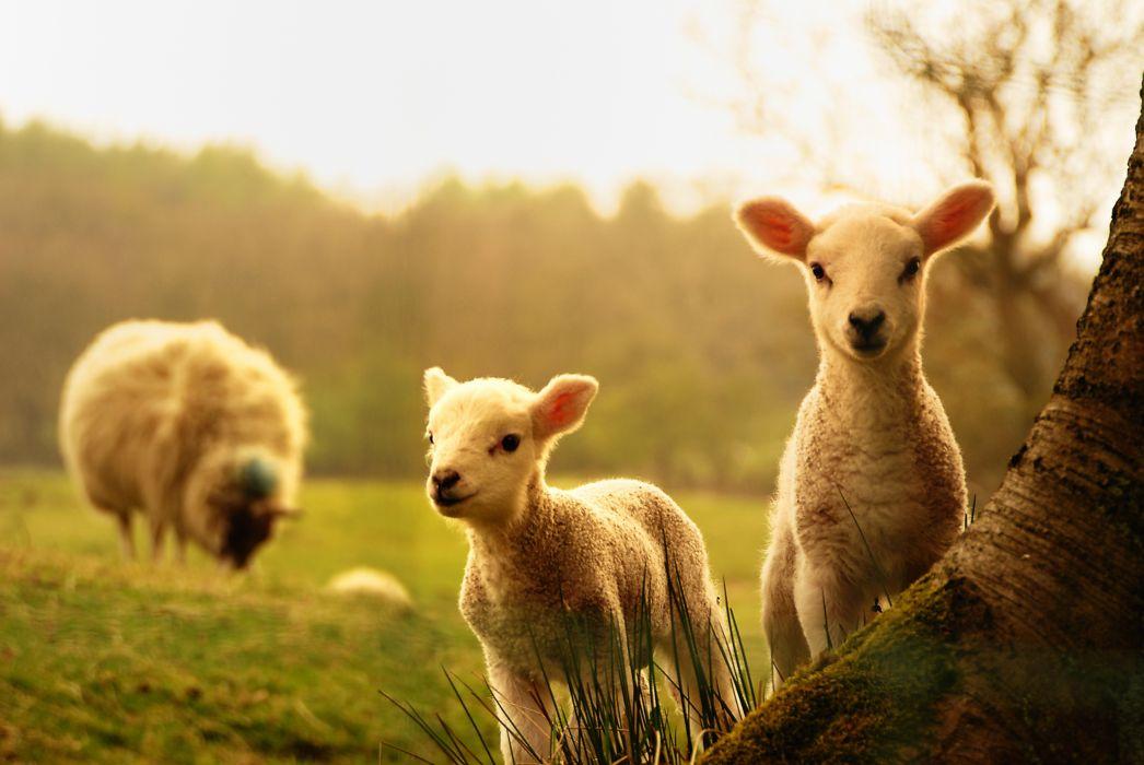 Young lambs sheep tree sheep baby wallpaper