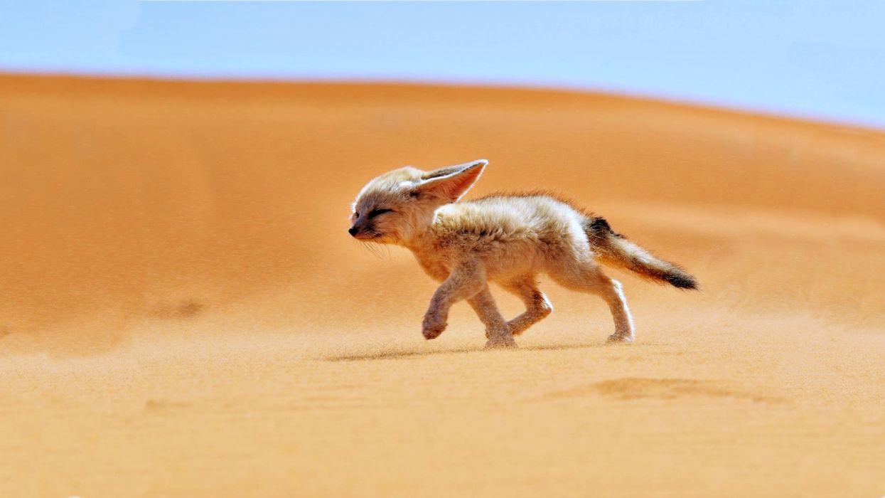 sand fox desert wind landscapes africa algeria animals nature fennec wallpaper
