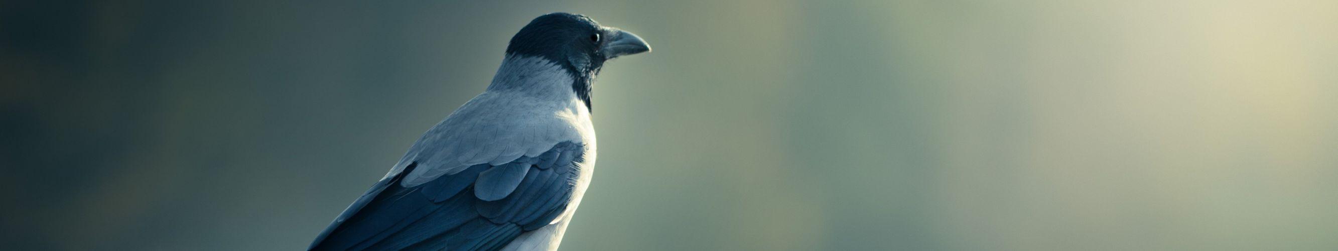 wallpaper triple multi multiple monitor screen crow corbeau corneille wallpaper