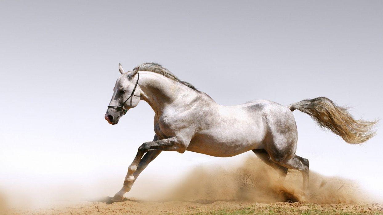 Animals Arabian Horse Wallpaper 1920x1080 638754 Wallpaperup