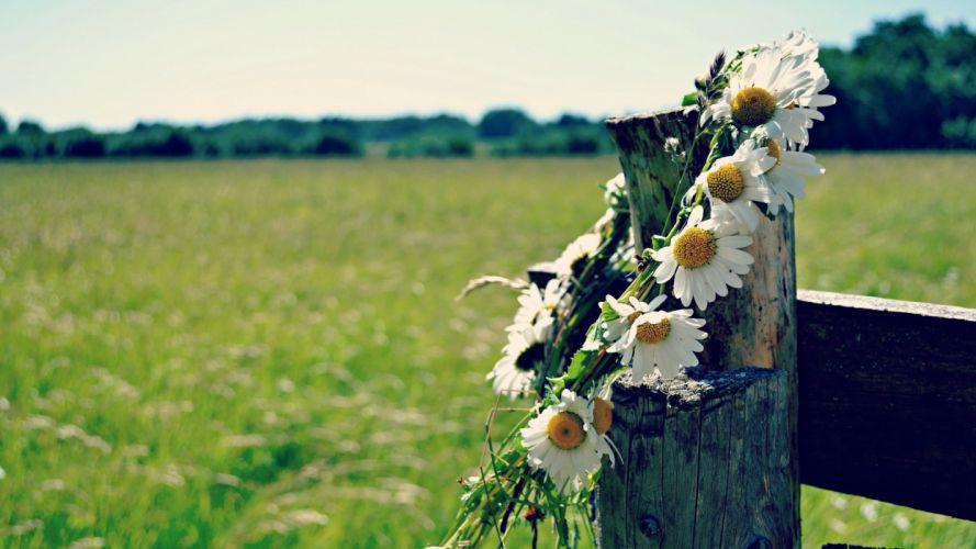 mood daisy grass nature wallpaper
