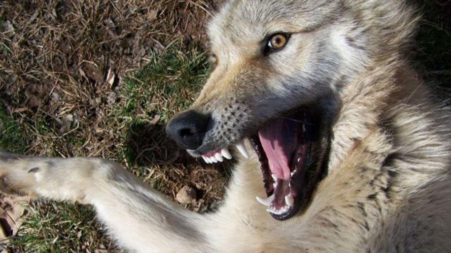 Wolf Teeth wallpaper