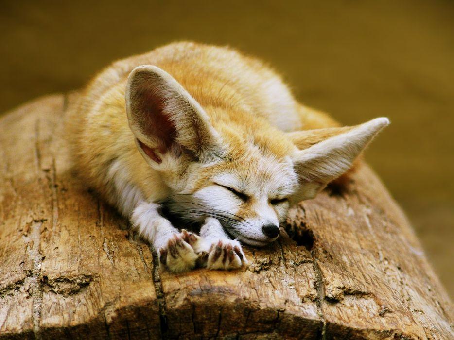 fennec fox cute ears sleeping sahara desert algeria africa animals