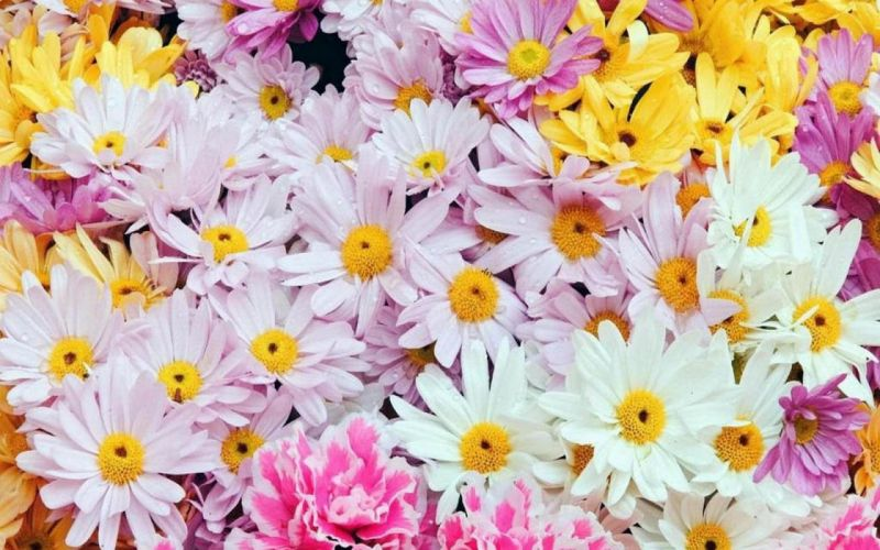 flower flowers petals garden nature plants beautiful delicate colorful soft spring 1920x1200 (62) wallpaper