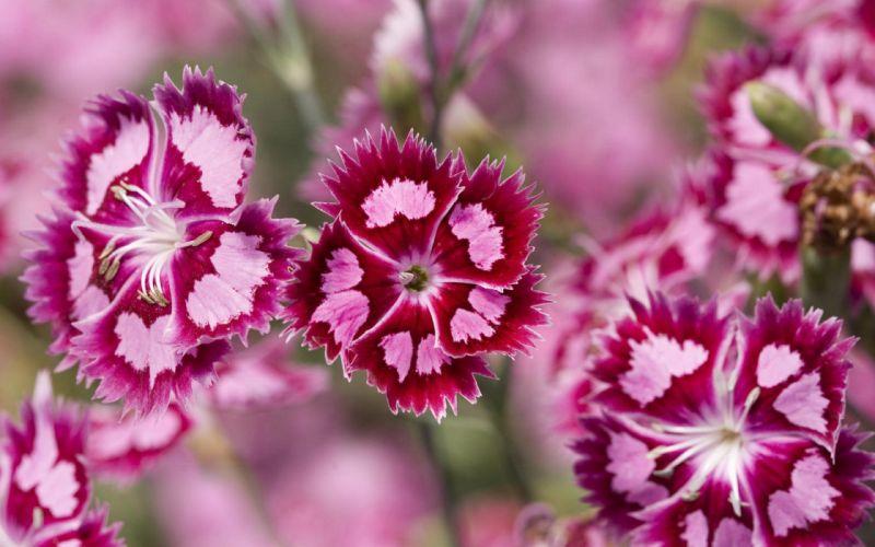 flower flowers petals garden nature plants beautiful delicate colorful soft spring 1920x1200 (91) wallpaper