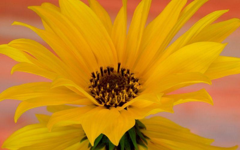 flower flowers petals garden nature plants beautiful delicate colorful soft spring 1920x1200 (106) wallpaper