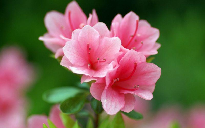 flower flowers petals garden nature plants beautiful delicate colorful soft spring 1920x1200 (116) wallpaper