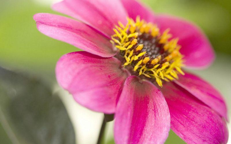 flower flowers petals garden nature plants beautiful delicate colorful soft spring 1920x1200 (138) wallpaper