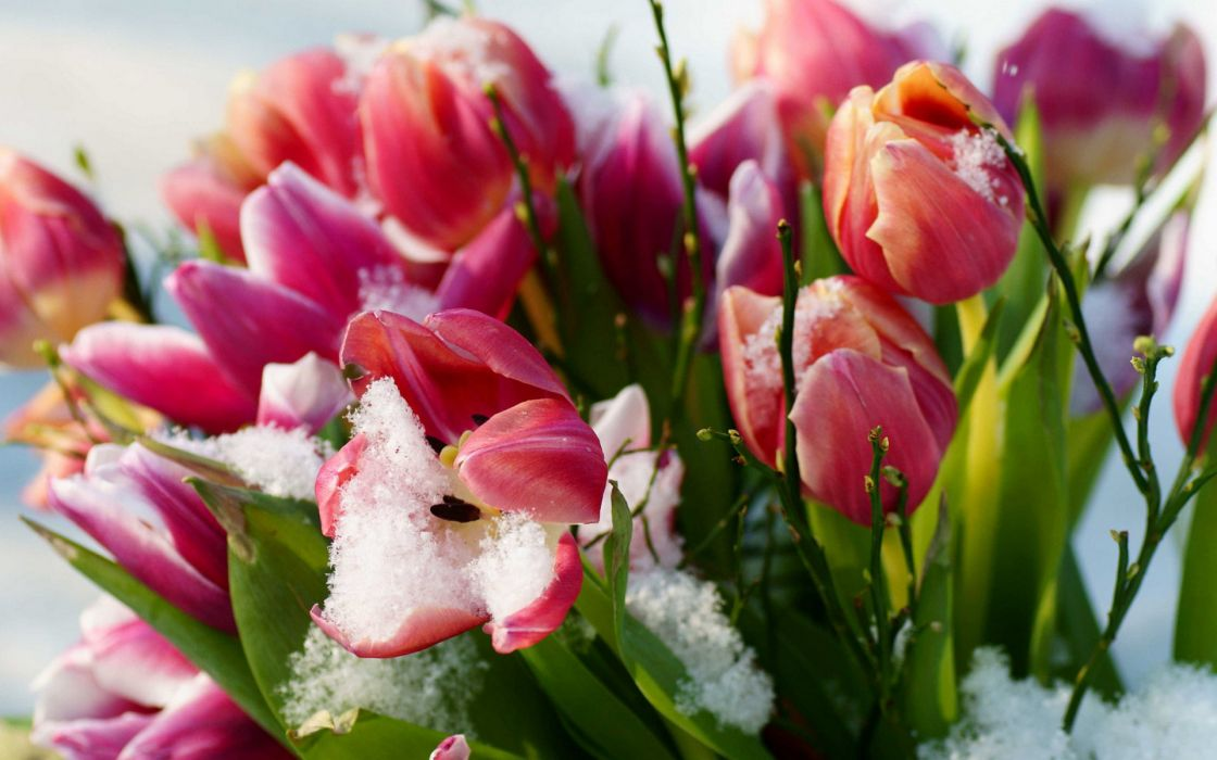 flower flowers petals garden nature plants beautiful delicate colorful soft spring 1920x1200 (208) wallpaper