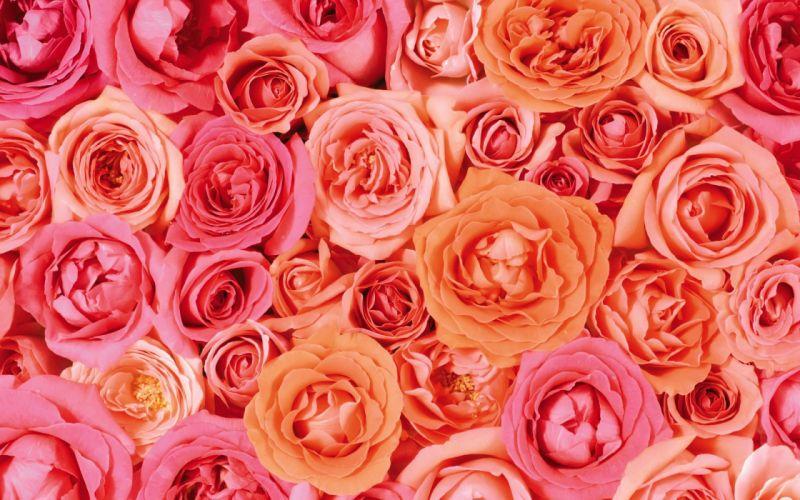 flower flowers petals garden nature plants beautiful delicate colorful soft spring 1920x1200 (217) wallpaper