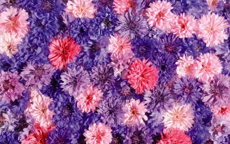 flower flowers petals garden nature plants beautiful delicate colorful soft spring 1920x1200 (221) wallpaper